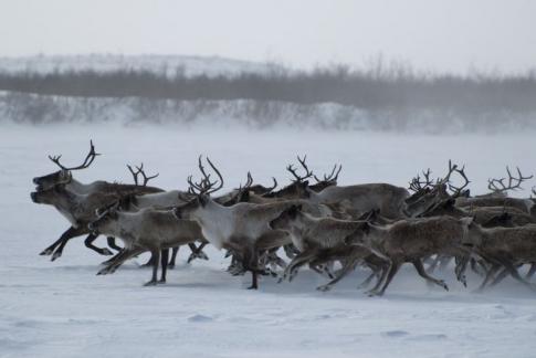 herd moose