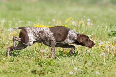 German Short-haired Pointer