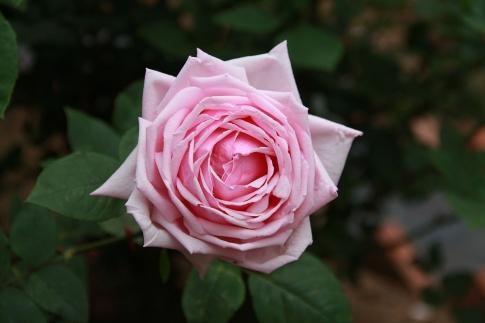 la france rose