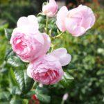 英国の薔薇、20年目の真相。