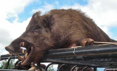 wild-pig.jpg