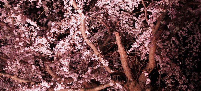 春爛漫、横浜の桜も今が見頃