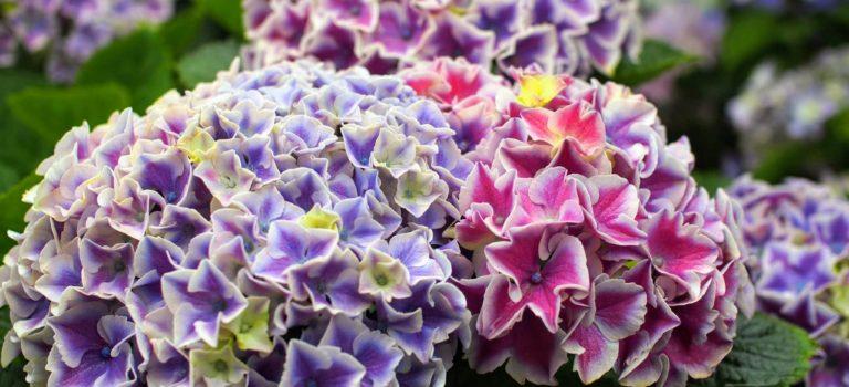 横浜イングリッシュガーデン再び!雨に唄う紫陽花たち。