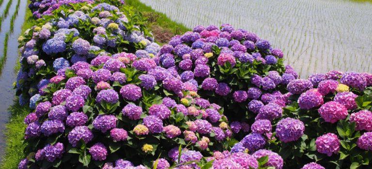 早苗田を彩る5000本の紫陽花!開成町あじさいの里に行ってきた〜その2