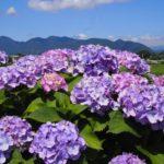 早苗田を彩る5000本の紫陽花!開成町あじさいの里に行ってきた〜その1