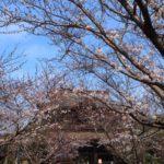 半年ぶりの鎌倉フレンチ!ついでにお花見。