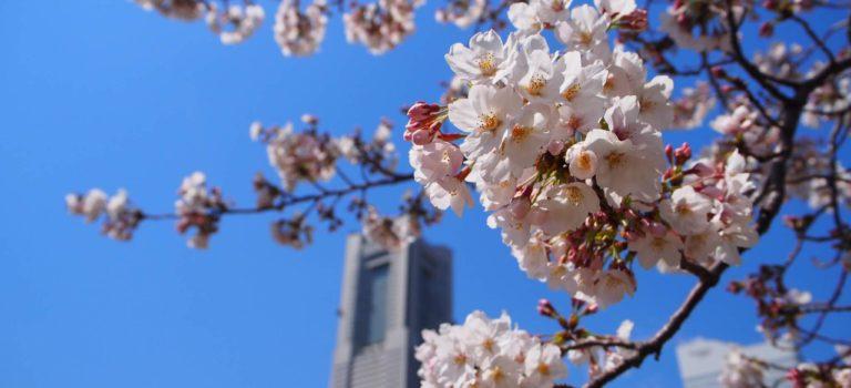 みなとみらい、汽車道、山下臨港線プロムナードをぶらぶら散策でお花見。