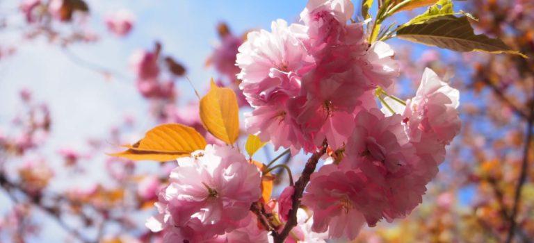 華やかな八重桜でお花見もフィナーレ