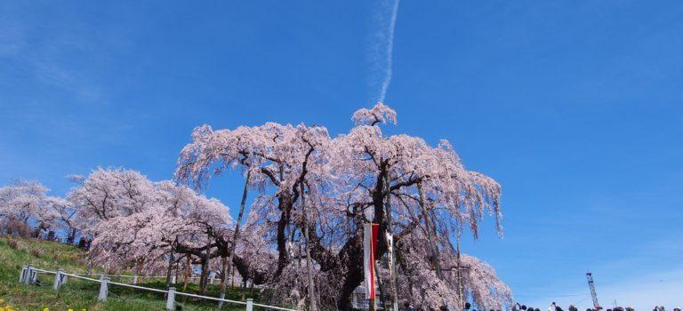 春爛漫の福島に行ってきた!〜その1 三春の滝桜