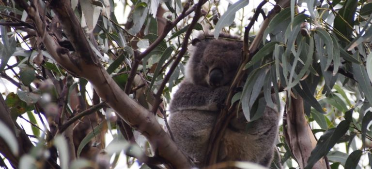 メルボルンに行ってきた! その3 〜グレート・オーシャン・ロードツアー前編「野生のコアラ」