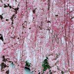 息抜きプチトリ🌸福島桜紀行 その1〜観音寺川と日中線の桜