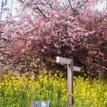 稲取と河津桜、伊豆プチトリップ 〜その3 河津桜まつりと大滝