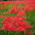 埼玉「巾着田」の曼珠沙華公園にいってきた。