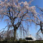 山下公園の枝垂れ桜はまもなく満開
