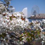 桜は咲けどもひねもすコロナ