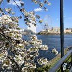 みなとみらい散歩。あとちょっとで桜は満開!