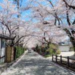 息抜きプチトリ🌸福島桜紀行 その2〜岳温泉の桜坂
